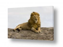 חיות בר אריה | תצפית