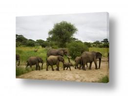 עולם אפריקה | משפחת פילים