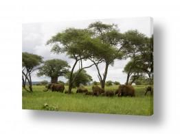 עולם אפריקה | פילים בצל שיטה