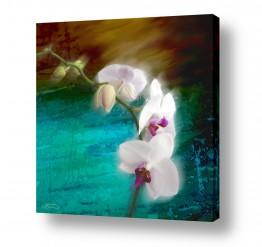 צומח פרחים | סחלב