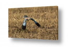 תמונות לפי נושאים מעוף | מעוף הכחל