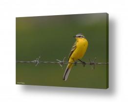 תמונות לפי נושאים גדר | נחליאלי צהוב