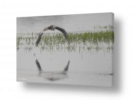 צילומים כרמל תדמור | מעוף האנפה