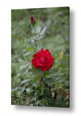 צילומים טבע | ורד