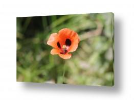 פרחים פרגים | יופי של פרג