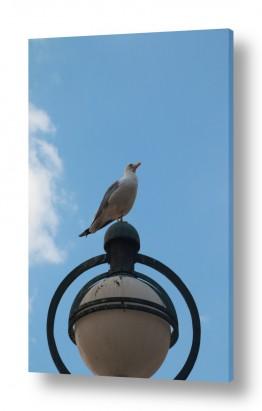 ציפורים שחף | שחף