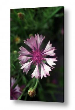 צילומים צילום תקריב | פרח 2