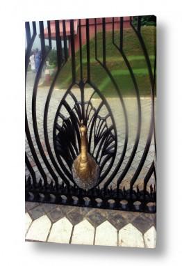 צילומים דן ששתיאל | טווס בשער