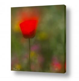 פרחים פרגים | בודד