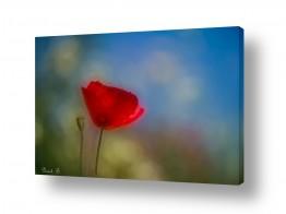 פרחים פרגים | פשוט יפה