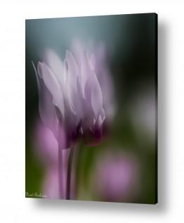 פרחים רקפת | טוהר