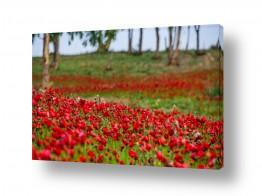 פרחים כלנית | מרבד אדום