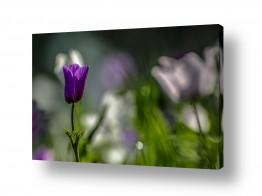 פרחים כלנית | סגולה