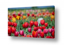 פרחים טוליפ | שכבות של צבע