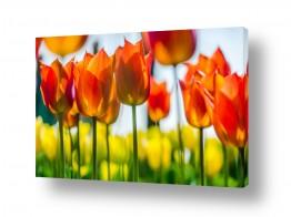 פרחים פרחים לפי צבעים | שלהבות