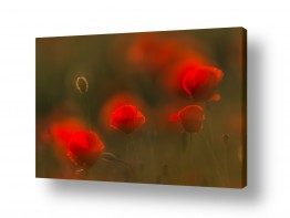 פרחים פרגים | מול האור