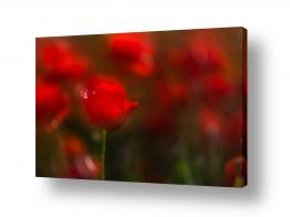 פרחים פרגים | זוהרים באדום