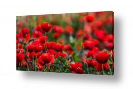 פרחים פרגים | פרגים