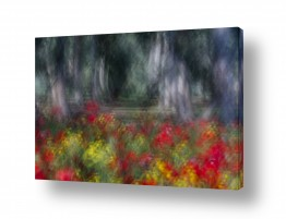 פרחים כלנית | כלניות ביער