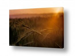 שדות חיטה | החיטה בזריחה