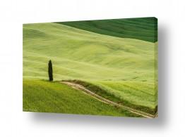 שדה ירוק ירוק | הברוש הבודד