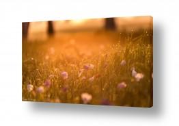 פרחים כלנית | כלניות בזריחה