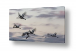 תמונות לפי נושאים חיות | מעוף העגורים