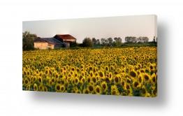 פרחים חמניה | שדה חמניות
