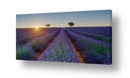 צילומים דורית ברקוביץ | שדה לבנדר פנורמי