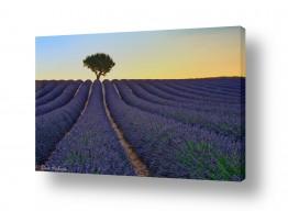 נושאים תמונות נופים נוף | בדד בשדה הלבנדר
