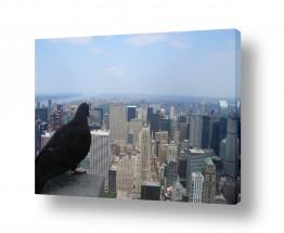 ארצות הברית ניו יורק | עין היונה