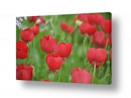 פרחים כלנית | כלניות באחו 2