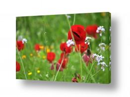 פרחים כלנית | כלניות באחו