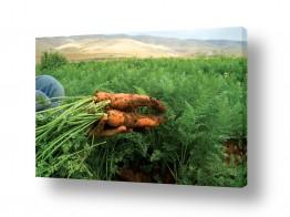 ירקות גזר | גזר אורגני