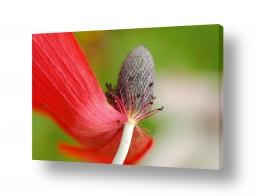 פרחים כלנית | ריקוד באדום 1