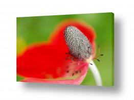 פרחים כלנית | ריקוד באדום 2
