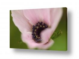 פרחים אבקנים | רכות מלטפת 1