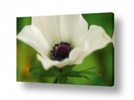 פרחים כלנית | רכות מלטפת 2
