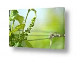 אוכל אלכוהול | עוללות ענבים