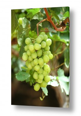 אוכל אלכוהול | אשכול ענבים בכרם1