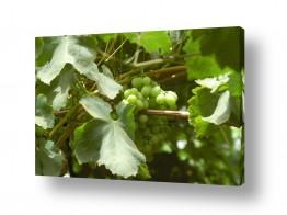 אוכל אלכוהול | אשכול ענבים בכרם 2