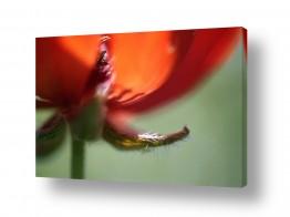 פרחים פרגים | להט אדום