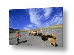 יונקים כבשה | רועה הצאן