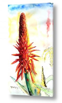 צמחים צבר | אלוורה