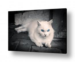 חיות בית חתולים | לבן