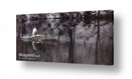 עוף מים ברבור | ברבור