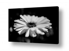 צילומים אילן עמיחי | flower bw 1