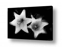 צבעים פופולארים צבע שחור | flower bw 2