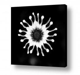 צילומים אילן עמיחי | flower bw 3