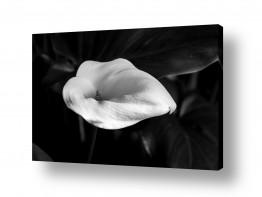 צבעים פופולארים צבע שחור | flower bw 4
